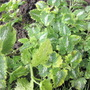 Lamium Maculatum 'Golden Anniversary' (Lamium maculatum)