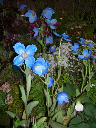 Meconopsis betonicifolia (Himalayan Blue Poppy), Gardening Scotland 2008 (Meconopsis betonicifolia (Himalayan blue poppy))
