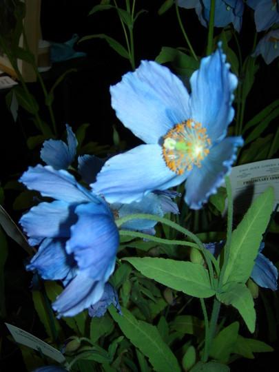 Meconopsis betonicifolia (Himalayan Blue Poppy) at Gardening Scotland Show2008 (Meconopsis betonicifolia (Himalayan blue poppy))