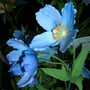 Meconopsis betonicifolia (Himalayan Blue Poppy) at Gardening Scotland Show2008 (Meconopsis betonicifolia (Himalayan blue poppy))