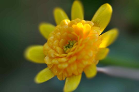 """Ranunculus ficaria """"Collarette"""""""