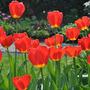 Unknown_tulip_2
