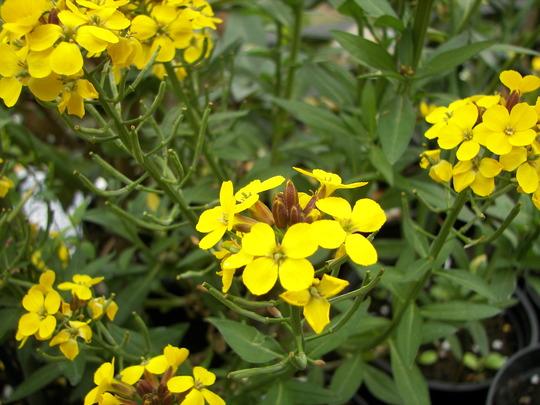 Erysimum a sunny yellow