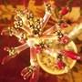 Plumeria Inflorescence (Plumeria rubra)