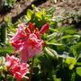 Azalea_strawberry_ice_cluster