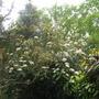 Viburnum_rhytidophyllum2