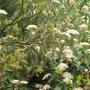 Viburnum rhytidophyllum (Viburnum rhytidophyllum (Wrinkled Viburnum))