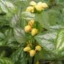 Lamium galeobdolon (Lamium galeobdolon (Goldnessel))