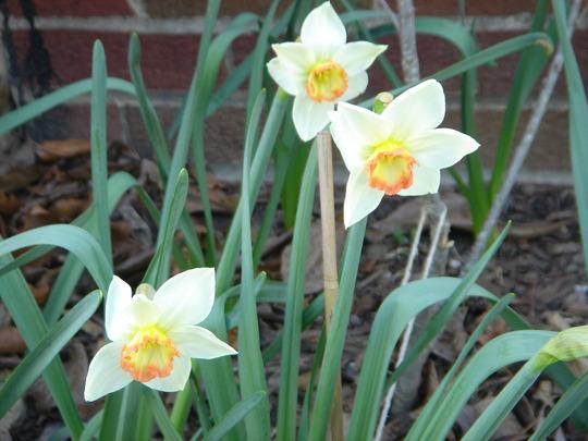 Audobon Daffodil