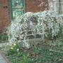 Weeping_cherry