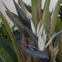 Strelitzia nicolai - Giant-Bird-of-Paradis