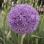 """Allium Globemaster (Allium """"Globemaster"""")"""
