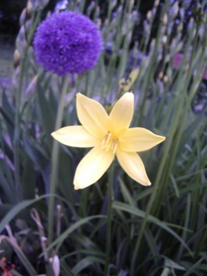 Daylilies (Hemerocallis)