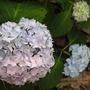 Hydrangea All-summer Blue 2010
