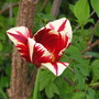 Rembrant tulip red and white 0410