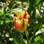Rembrant tulip