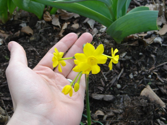 Twinkling yellow daffodil