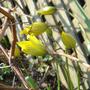 woodland tulips
