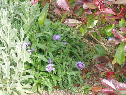Centaurea montana (Centaurea montana)