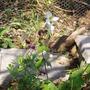 Geranium_phaeum_and_anemonella