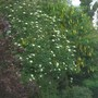 Prunis cerasifera 'Nigra' Rowan and Laburnum vossii all very early this year (Prunus cerasifera 'Nigra' - Purple Leaved Flowering Plum)