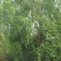 My Weeping silver birch with Hawthorn underneath (Betula Pendula Weeping Silver Birch)