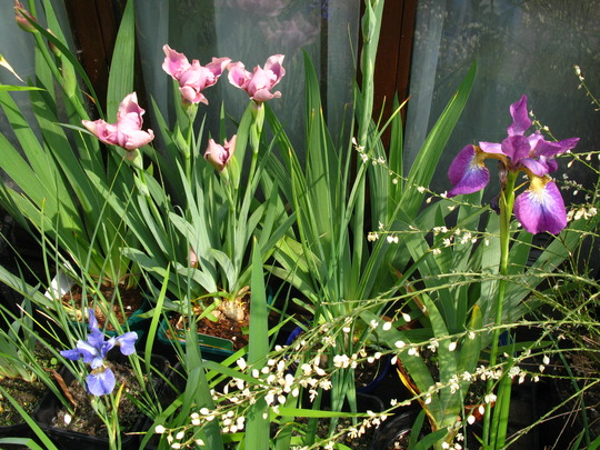 irises coming out
