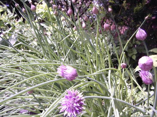 Chives in bloom (Allium schoenoprasum (Chives))