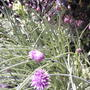 Chives in bloom (Allium schoenoprasum (Chives))