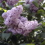 2008_06_03_lilacs_blooming