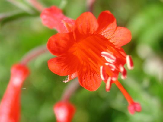Zauschneria (Zauschneria californica)
