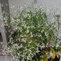 My Euphorbia 'Diamond Frost'  (My Euphorbia 'Diamond Frost')