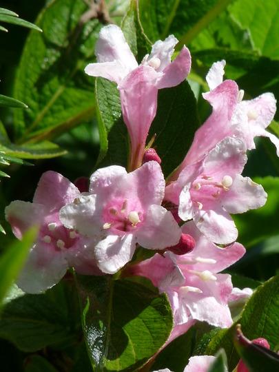 Weigela (Weigela florida (Weigela))