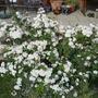 Auriculas and Herb Garden 036