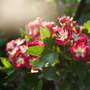 Crataegus_in_evening_sun