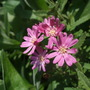Olearia_phlogopappa_comber_s_pink_