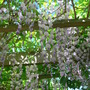 Wisteria floribunda 'Multijuga'