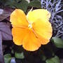2008_06_03_pansy