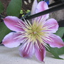 Clematis_empress