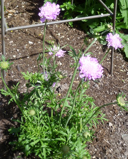 """Scabious """"Pink Mist"""" (Scabiosa africana (African Scabious))"""