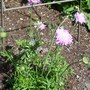 "Scabious ""Pink Mist"" (Scabiosa africana (African Scabious))"
