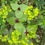 Trillium chloropetalum (Trillium chloropetalum (Giant Wakerobin))