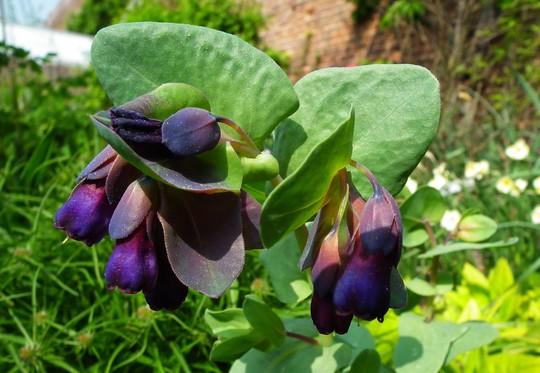 Cerinthe major purpurescens (Cerinthe major purpurescens)