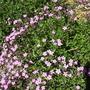 Saponaria 'tumbling Ted  (Saponaria 'tumbling Ted)