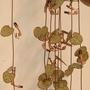 "Ceropegia ""Rosary Vine"" (Ceropegia woodii)"
