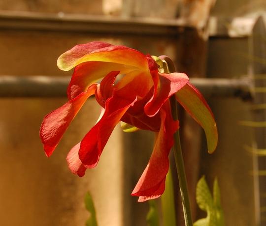 sarracenia leucophylla (sarracenia leucophylla)