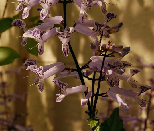 """Plectranthus australis """"Mona Lavender"""" (Plectranthus australis """"Mona Lavender"""")"""