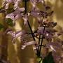 """Plectranthus australis """"Mona Lavender"""""""