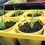 Sicyrinchium seedlings (Sisyrinchium californicum)
