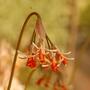 Tulbaghia alliacea (Tulbaghia alliacea)